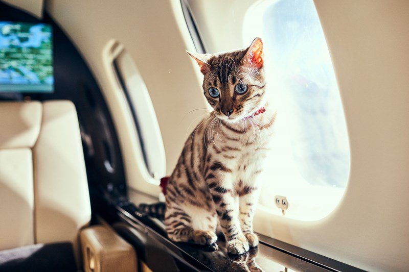 VistaJet cat on board private jet