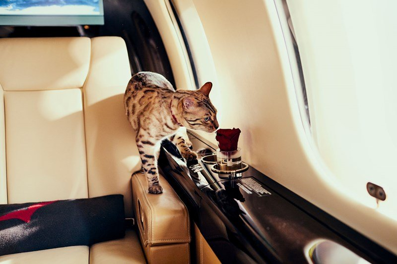 VistaJet, cat on private jet